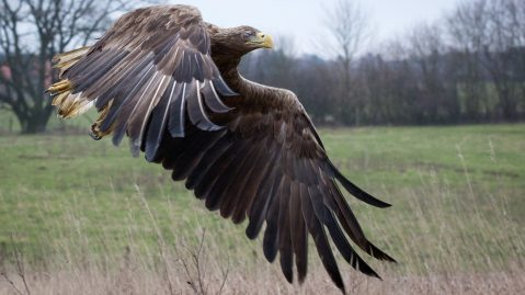 White-tailed eagle released back into the wild